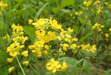 Mustard_Plant_Flower