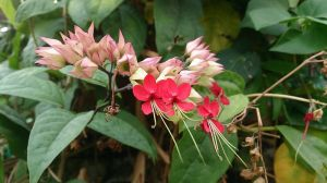 Bleeding_Heart_Vine_(Clerodendrum_thomsoniae)